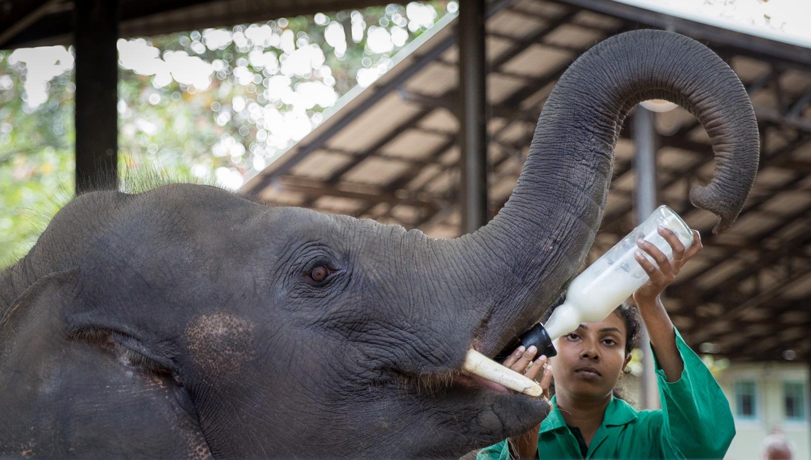 Orfanato de elefantes de Pinnawala - Sri Lanka